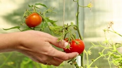 Collecting red tomato from plant inside hothouse Stock Footage