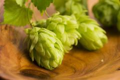 Fresh green hop cones Stock Photos