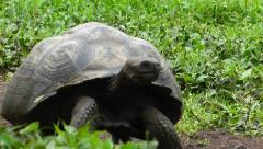 Galapagos Tortoise Walking Pan Stock Footage
