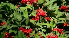 Bunch of ripe Viburnum on  branch Stock Footage