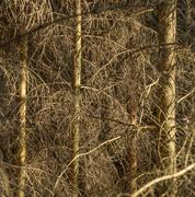 Stock Photo of dead conifer trees