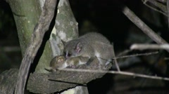 Grey Mouse Lemur mating in the dry deciduous forests of Madagascar 2 Stock Footage