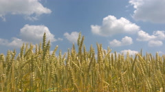Golden wheat field with blue sky in background, Static take in UHD 4K Stock Footage