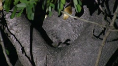 Grey Mouse Lemur move in tree in the dry deciduous forests of Madagascar 5 Stock Footage