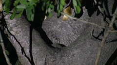 Grey Mouse Lemur move in tree in the dry deciduous forests of Madagascar 6 Stock Footage