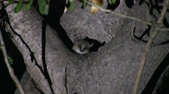 Grey Mouse Lemur move in tree in the dry deciduous forests of Madagascar 7 - stock footage