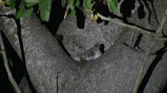 Grey Mouse Lemur move in tree in the dry deciduous forests of Madagascar 8 - stock footage