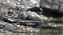 Grey-headed Lovebird drinks from waterhole and fly away in the dry deciduous Stock Footage