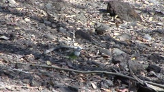 Grey-headed Lovebird walking on ground in the dry deciduous forests of Madaga Stock Footage