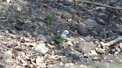 Grey-headed Lovebird walk down to waterhole and drink and fly away in the dry Stock Footage