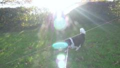 Lens Flare 2 King Charles Cavalier Dogs On Leads Walking Park Field Slow Motion Stock Footage