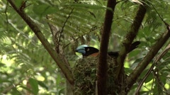 Helmet Vanga nesting in the rainforests of Madagascar 6 Stock Footage