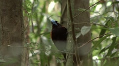 Helmet Vanga sitting in tree in the rainforests of Madagascar Stock Footage