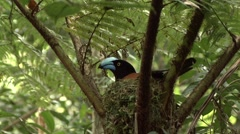 Helmet Vanga nesting in the rainforests of Madagascar 7 Stock Footage