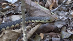 Hog-nosed snake moving on the ground in the dry deciduous forests of Madagasc Stock Footage