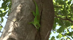 Madagascar Day Gecko on tree trunk in the rainforest of Madagascar 2 Stock Footage