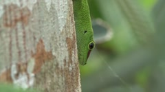 Madagascar Day Gecko walks down tree trunk in the rainforest of Madagascar 3 Stock Footage