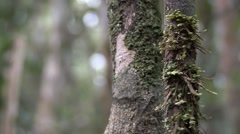 Mossy Leaf-tailed Gecko camouflaged in the rainforest of Madagascar in the da Stock Footage