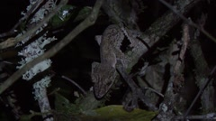 Mossy Leaf-tailed Gecko camouflaged in the rainforest of Madagascar in the ni Stock Footage