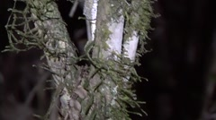 Mossy Leaf-tailed Gecko moving in the rainforest of Madagascar in the night 2 Stock Footage