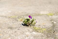 lone flower growing out of the cleft - stock photo