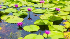 Pink lotuses on the lake Stock Footage