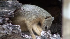 Narrow-striped Mongoose cleaning fur in the dry deciduous forest floor of Mad Stock Footage