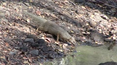 Narrow-striped Mongoose drinking water in the dry deciduous forest floor of M - stock footage
