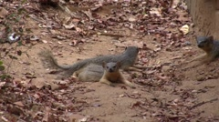 Narrow-striped Mongoose family resting in the dry deciduous forest floor of M Stock Footage