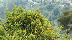 Orange tree. Alpes-Maritimes, France. - stock footage