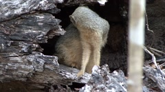 Narrow-striped Mongoose hide in tree trunk in the dry deciduous forest floor Stock Footage