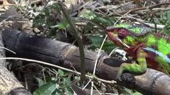 Oustalet's Chameleont walking in bush in Madagascar 2 Stock Footage