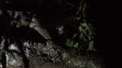 Pale Fork-marked Lemur looking for food in tree in the dry deciduous forests - stock footage