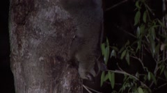 Pale Fork-marked Lemur looking for food in tree in the dry deciduous forests Stock Footage