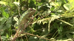 Panther Chameleont catches pray with tongue in the rainforests of Madagascar Stock Footage