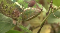 Panther Chameleont walking in bush in the rainforests of Madagascar 2 Stock Footage