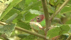 Panther Chameleont walking in bush in the rainforests of Madagascar 3 Stock Footage