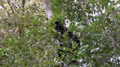Perrier's Sifaka feeding in the rainforest of Madagascar 1 Stock Footage