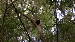Perrier's Sifaka resting in the rainforest of Madagascar 1 Stock Footage