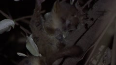 Peter's Mouse Lemur clean himself in the dry deciduous forests of Madagascar Stock Footage