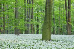 Ramsons (Allium ursinum) in European Beech (Fagus sylvatica) Forest in Spring, Stock Photos