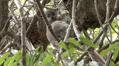 Randrianasolo's Sportive Lemur in tree in the dry deciduous forests of Madaga - stock footage