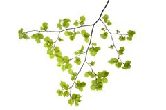 Lime Tree (Tilia) Leaves on White Background - stock photo
