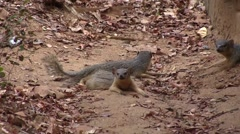 Narrow-striped Mongoose family resting in the dry deciduous forest floor of M - stock footage