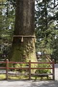 800 year old Cedar tree with yellow straw rope at Hakone Shrine on Lake Ashi - stock photo