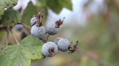 Handheld Shot of Light Blue Berries Stock Footage