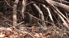 Stock Video Footage of Narrow-striped Mongoose foraging on the dry deciduous forest floor of Madagas