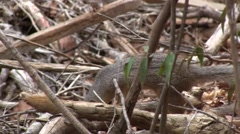 Narrow-striped Mongoose foraging on the dry deciduous forest floor of Madagas - stock footage