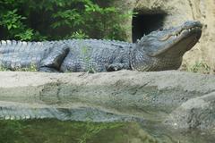 Alligator, Cameron Park Zoo, Waco, Texas, USA Stock Photos