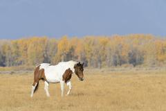 Stock Photo of Horse walking in field, Grand Teton National Park, autumn, Wyoming, USA